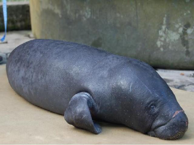 Filhote de peixe-boi foi resgatado pelo Instituto Mamirauá na divisa dos estados do Acre com o Amazonas