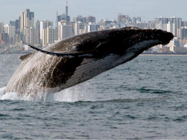 Começa temporada de observação de baleias jubarte na Bahia
